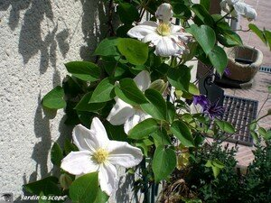 clematis_lecoultre