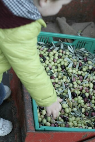 cueillette olives 055f