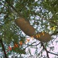 Tamarindus indica , Tamarind