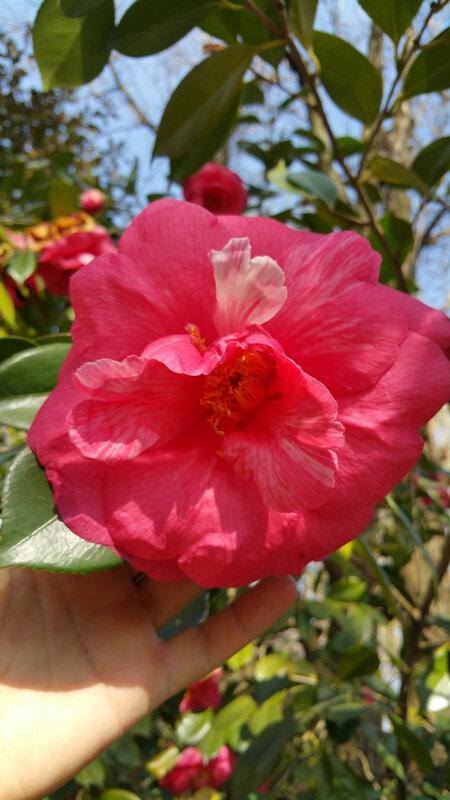camellias8