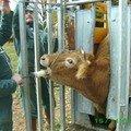 On a gardé cette vache pour lui faire un