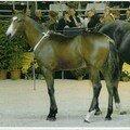 Ces chevaux qui font l'élevage