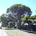grece pinede du kalogria ou bouquet de brocolis