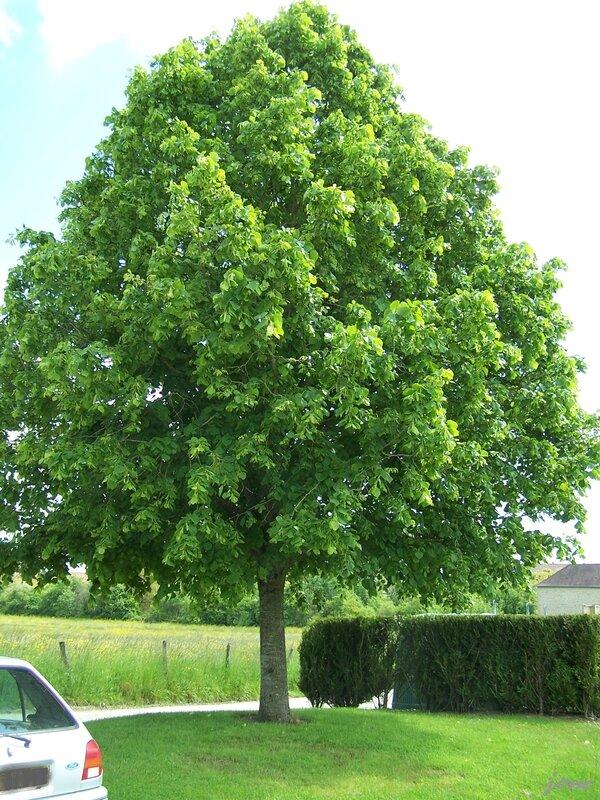 arbre de la liberté