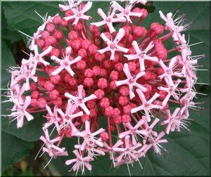 clerodendron4