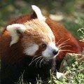 Panda roux (femelle)