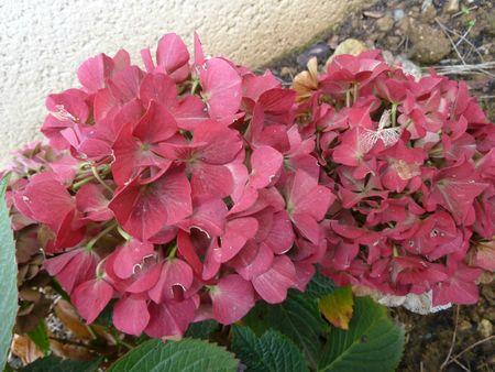 17novembre-fleurs de mon jardin (17)