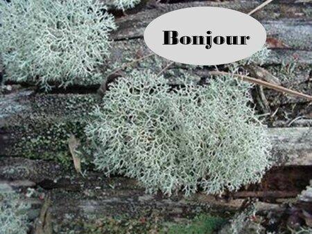 Lichen (1)