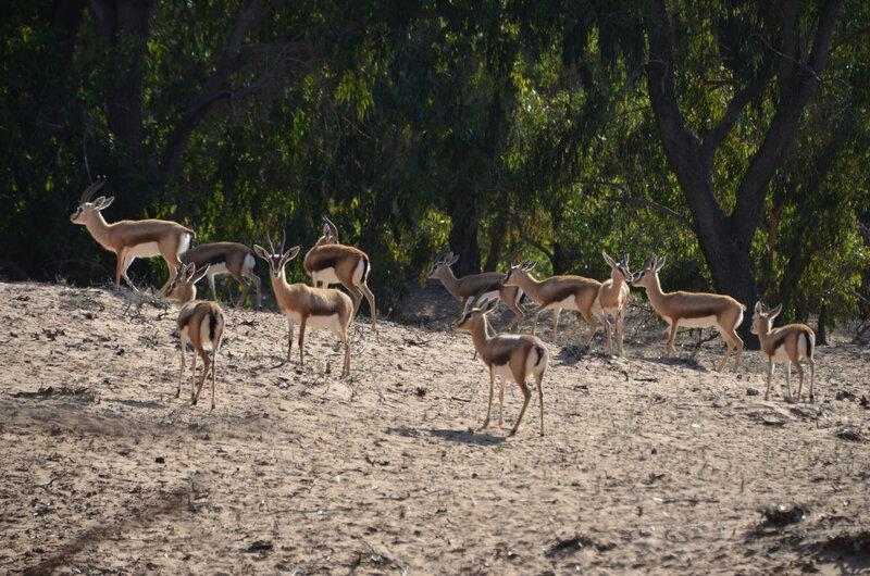 20 gazelle 7