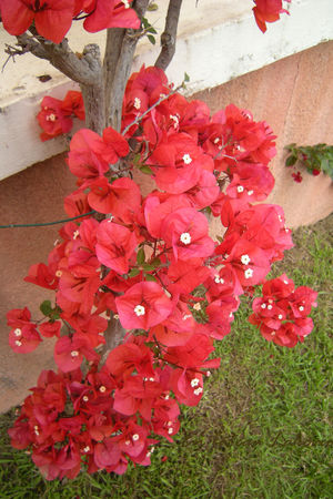 bougainvilliers_001