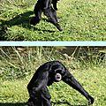 Les siamangs au zoo de trégomeur dans les côtes-d'armor