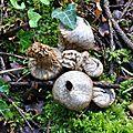 Lycoperdon perlatum (3)