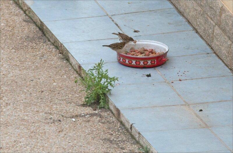ville gamelle chiens oiseaux 020717 4 moineaux GP