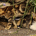 Photos JMP©Koufra 12 - Le Caylar - chat - chaton - 16072019 - 0046