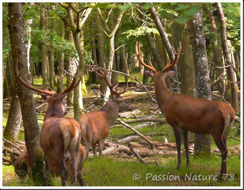 Le brame du Cerf 2009 en forêt de Rambouillet (11)