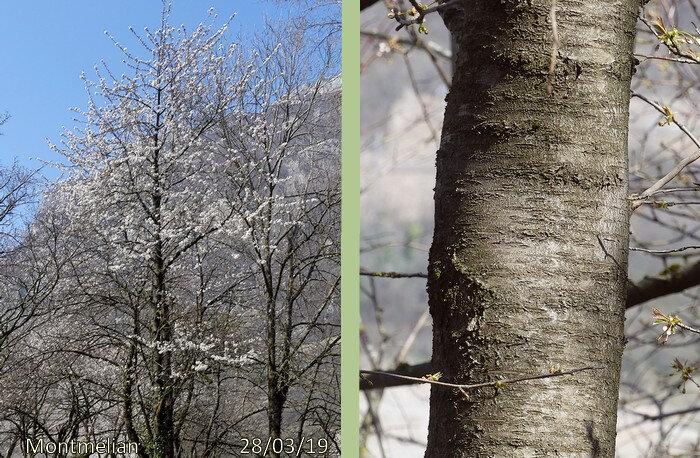 tronc haut et droit écorce gris foncé se desquamant en lanières horizontales