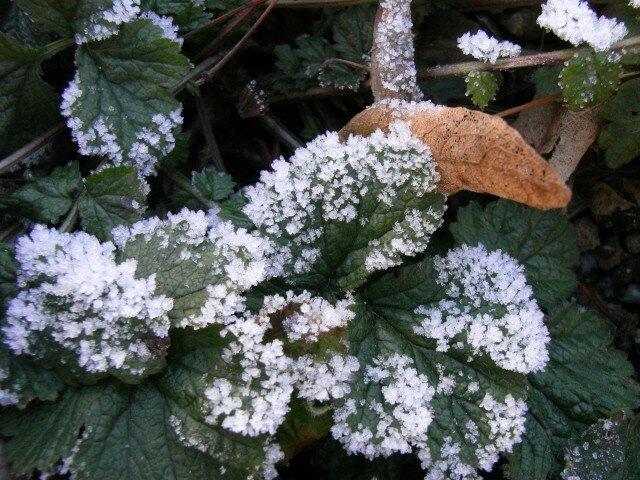 feuilles gelées au tilleul