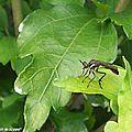 Leptogaster cylindrique • Leptogaster cylindrica • Famille des Asilidae