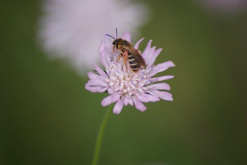 abeille succinctus 89