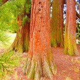 Le séquoia... mon sapin de Noël...