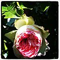 Rose_2_Copyright_Cathy_Wagner
