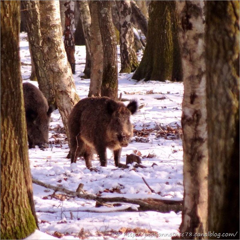 Sangliers dans la neige (3)