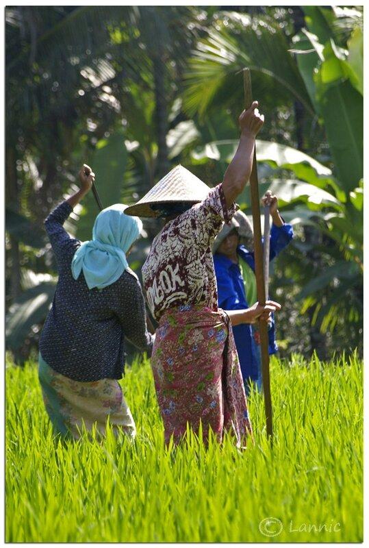 Bali_femmes_champ