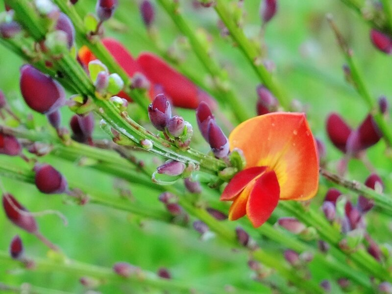 premiere fleur du cytise la coquette