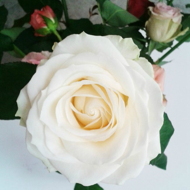 Rose-blanche-1
