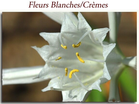 Blanches-Crèmes