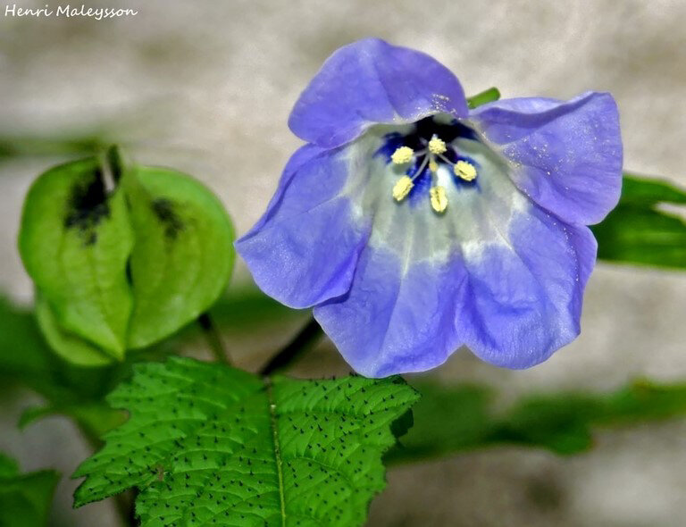 nicandra-physaloide-2-filtered