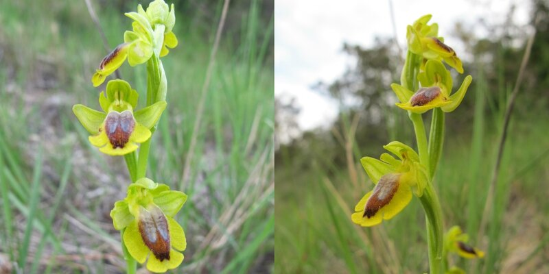 Ophrys lutea - PM 1