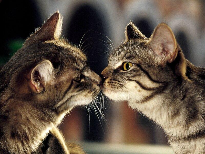 chats-qui-sembrassent