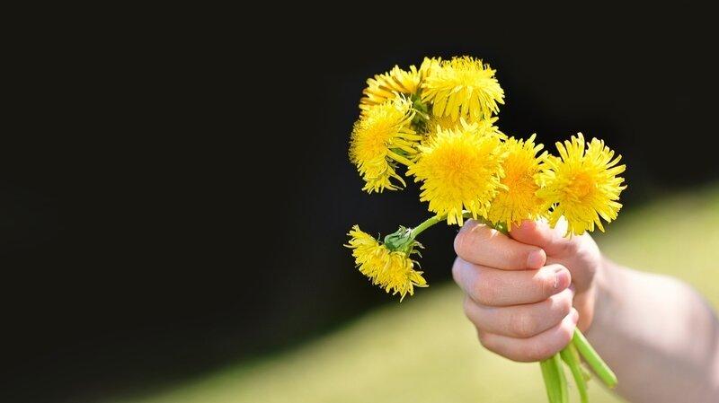 fleurs pissenlits2