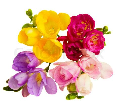 freesias 02