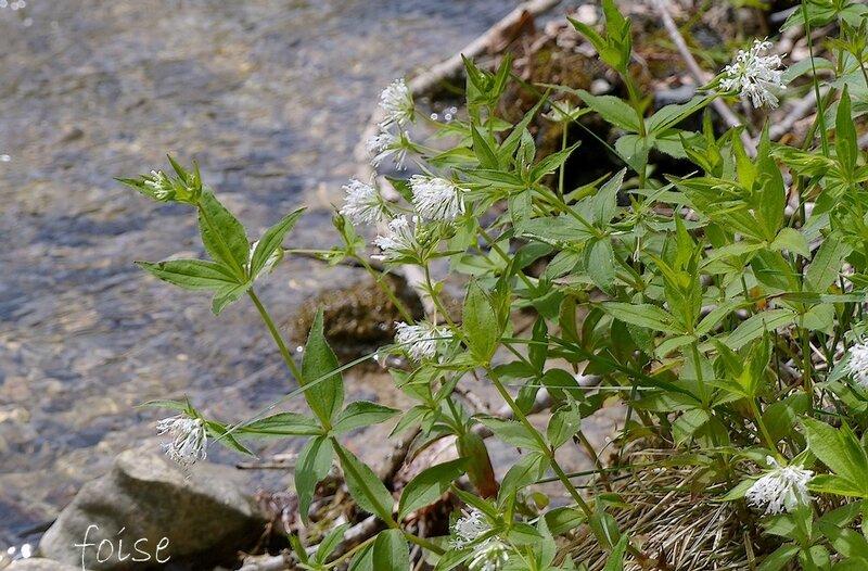 fleurs blanches en glomérules terminaux