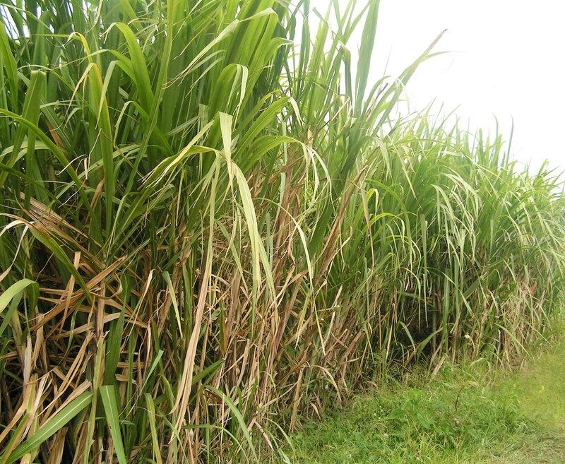 2016 03 09 (30)- distillerie JM plantation cannes à sucre à Macouba