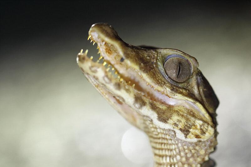 Paleosuchus palpebrosus - juvénile