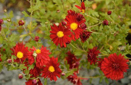 chrysanthemum_duchess_of_edinburgh1