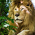 lion blanc beauval2