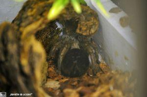 Araignée Mygale Aphonopelma sp.