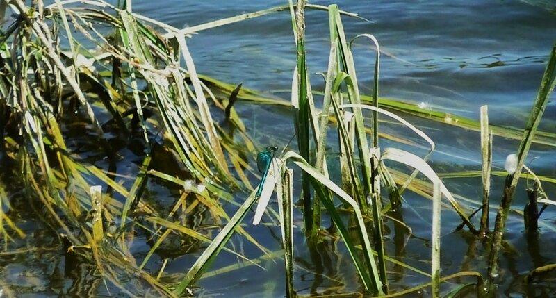 Les libellules de Loire