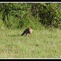Renard - vulpes vulpes