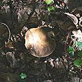 Cèpe noir à l'ombre des lauriers cerise ( au 3ème jour).