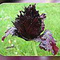 balanicole_2016_05_avril tulipes_60_black parrot envol