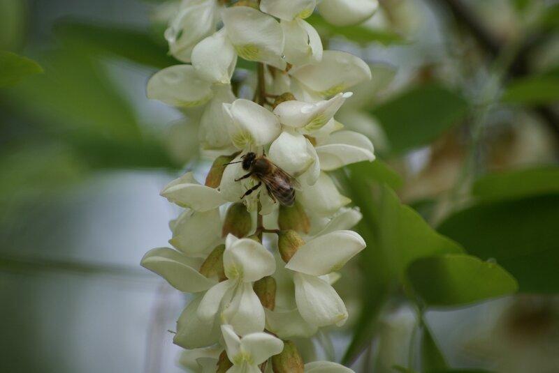 abeille - apis mellifera ( mellifere domestique) 53