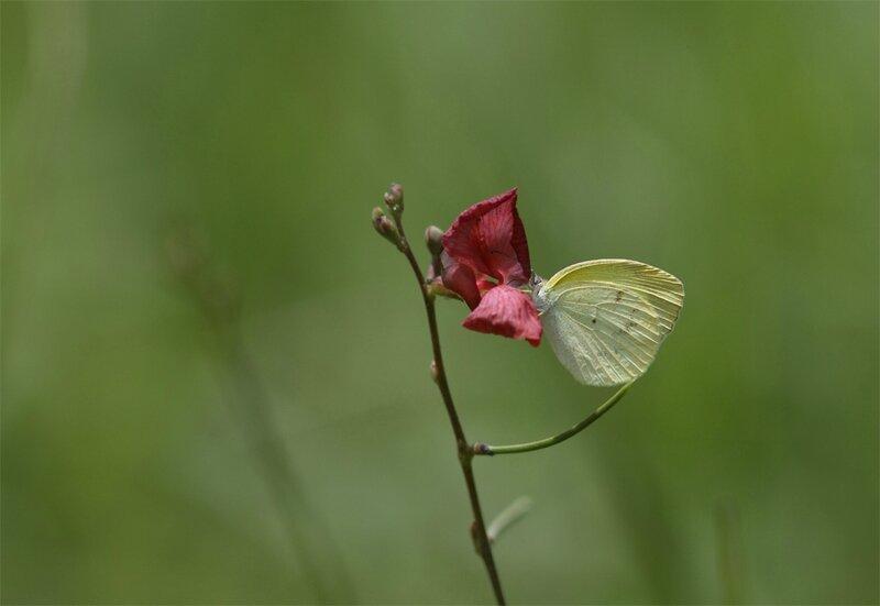 Papillon sur fabacée