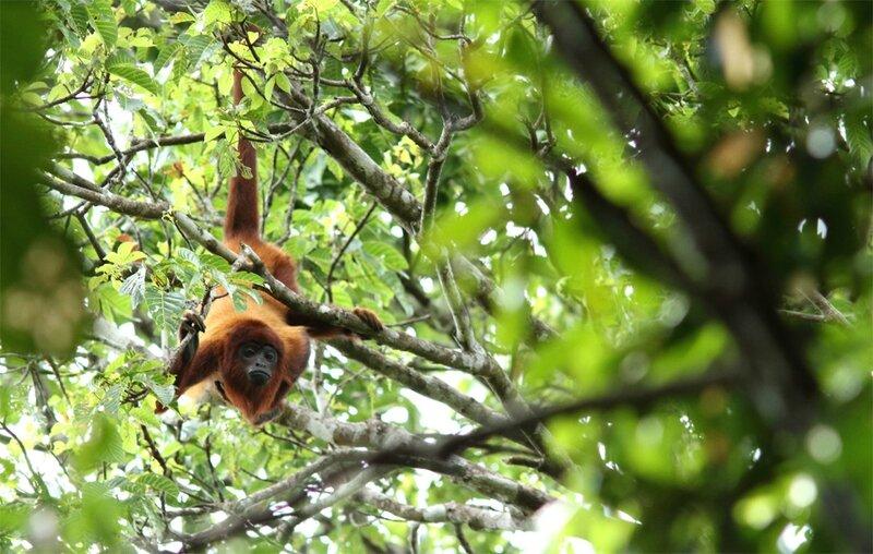 Alouatta seniculus macconnelli - singe hurleur roux