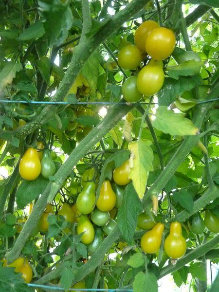 24-serre aux tomates (8)