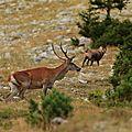 Cerf et chamois